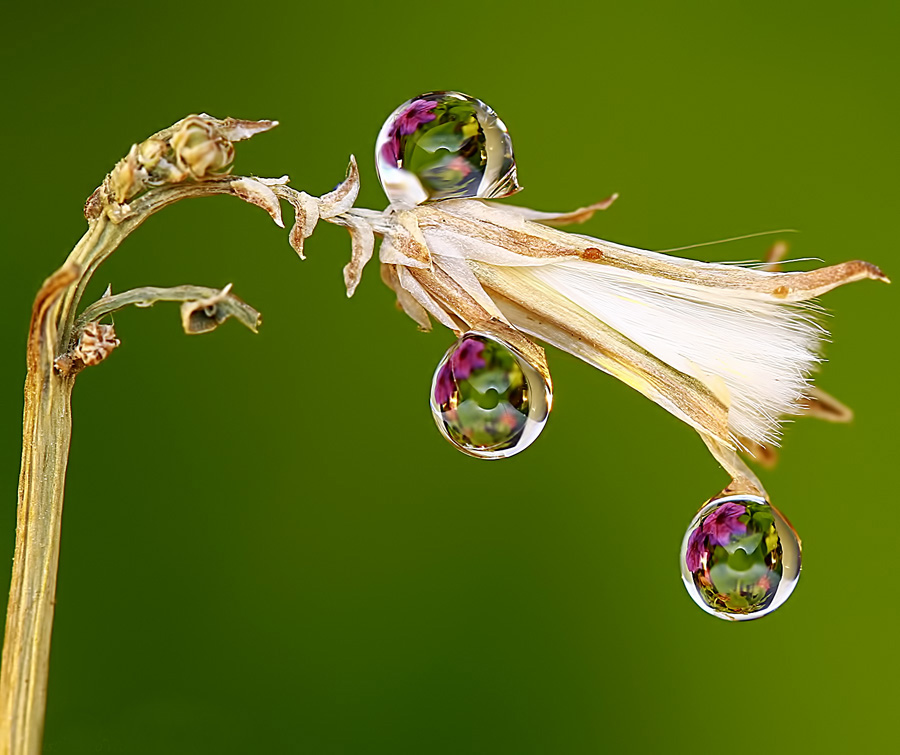 Drops by Agus  Sudarmanto - Nature Up Close Flowers - 2011-2013