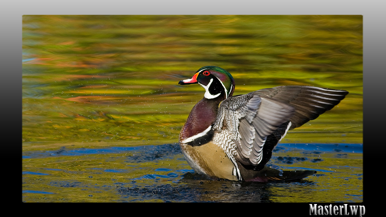 Duck Wallpaper Android Apps on Google Play