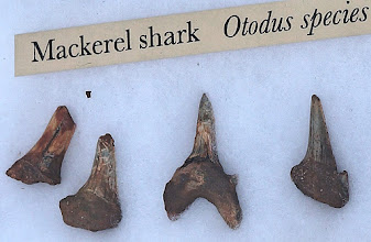 "Photo: Otodus is an extinct genus of mackerel shark. The name Otodus comes from Greek meaning ""ear-shaped tooth""."