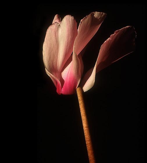 Ciclamino, fiore in movimento - © Saro Di Bartolo