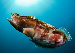 Photo: Broadclub Cuttlefish, Solomon Islands