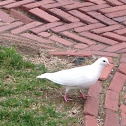 Rock dove - white morph/albino