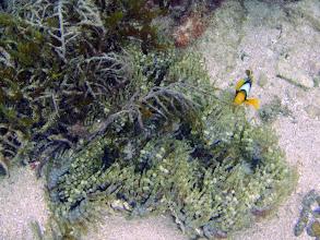 Photo: Amphiprion chrysopterus (Orangefin Clownfish) with Heteractis aurora (Beaded Anemone), Naigani Island, Fiji