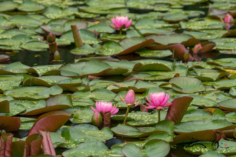 午前中に開花する睡蓮