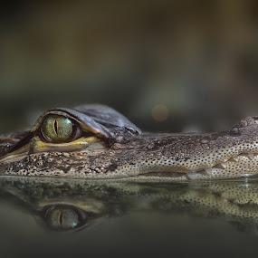 Crocos Baby Tooth by Michael Milfeit - Animals Reptiles ( mississippi-alligator, crocodilia, alligator mississippiensis, hechtalligator, subadult, alligatorinae, aligator, krokodil, , sea creatures, underwater life, ocean life )