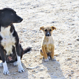 Poor Me, Small Dog with Larger Dog in the Sand in Egypt by Sheri Fresonke Harper - Animals - Dogs Portraits ( small, sand, poor me, large, egypt, sheri fresonke harper, dog, sitting,  )