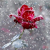 Snow Rose - Live Wallpaper