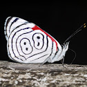 Anna's 88 Butterfly