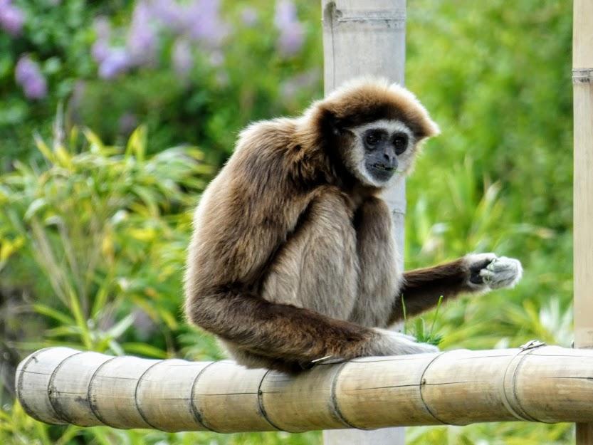 Gibon siedzący na bambusie