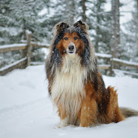 Snow time by Blaž Ocvirk - Animals - Dogs Portraits ( sheepdog, winter, slovenia, scottish, portrait )