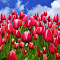 Sassy Pink Tulips.jpg