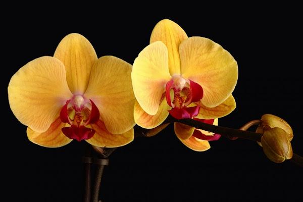 Phalaenopsis di Damiano