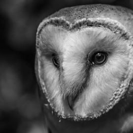 Barn Owl by Garry Chisholm - Black & White Animals ( bird of prey, nature, barn owl, garrychisholm, raptor )