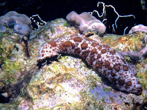 Photo: leopard sea cucumber