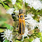 Goldenrod soldier beetle (mating)