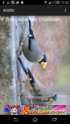 Cries of birds Grosbeak