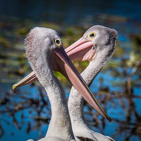 Pelican Pair by Brent McKee - Animals Birds ( water, bird, fuji x, qld, pelicans, water bird )