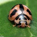 Six-spotted Zigzag Ladybird Beetle