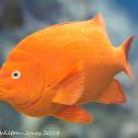 Garibaldi Damselfish