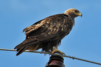 Photo: Golden Eagle