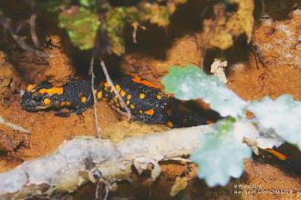 Photo: Salamander    Foto mit Seltenheitswert  Amphibien in Bergregionen besonders gefährdet.