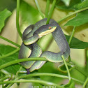 White-Lipped Pit Viper (Baby)