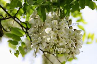 Photo: Flores de acacia de flor blanca