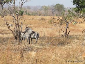 Photo: zebre