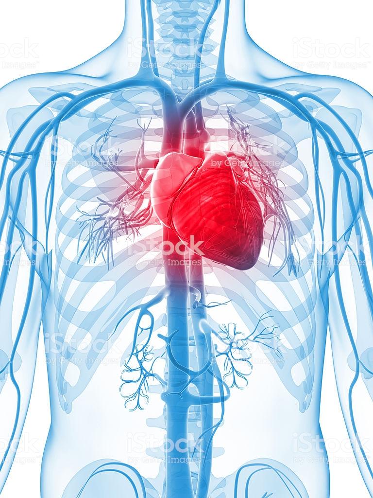 Serce Człowieka - zdjęcia stockowe i więcej obrazów Anatomia ...