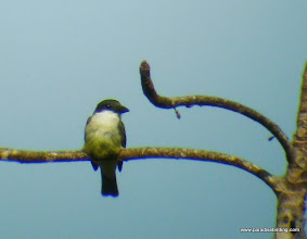 Photo: Thick-billed Kingbird; Tecuitata