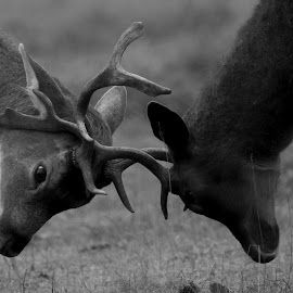 locked horns  by Tracy Morris - Black & White Animals