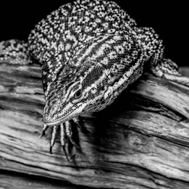 Monitor by Garry Chisholm - Black & White Animals ( sigma, monitor lizard, macro, workshop, reptile, canon, garry chisholm )