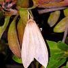 Ghost Tiger Moth