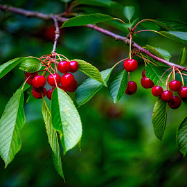 Ripe and Ready Cherries by Richard Duerksen - Nature Up Close Gardens & Produce ( oregon, fruit, south salem, ripe, cherries,  )
