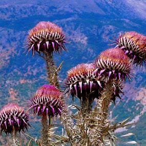 Thislets on Kefalonia, Greece by Keld Helbig Hansen - Flowers Flowers in the Wild