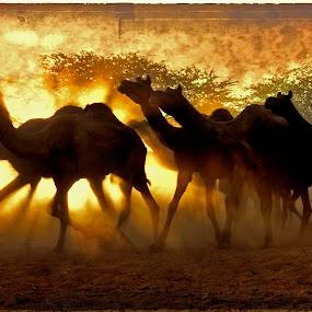 Golden Run by Jasminder Oberoi - Digital Art Places ( canon, canon 5d mark ii, sand, pushkar fair, desert, pushkar, camels, the footmarks, india, back light, texture art, jas fotography )