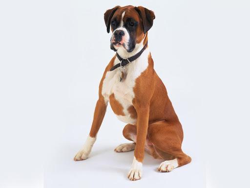 Boxer Dog HD Live Wallpaper