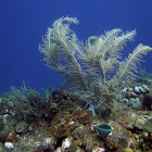 Sea Plume