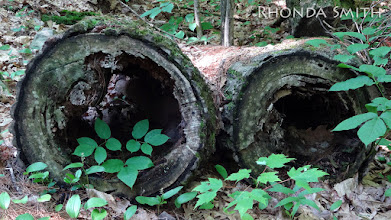 Photo: Two hollow logs laying on the ground by the hiking trails.