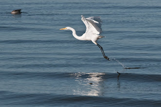 Photo: Great egret taking off