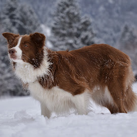 Lexi 1 by Bojan Kolman - Animals - Dogs Portraits