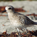 Black-bellied plover (Non-breeding)