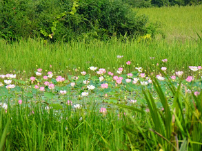 Photo: A pond of lotus flowers in bloom