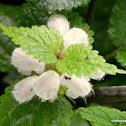 white nettle or white dead-nettle