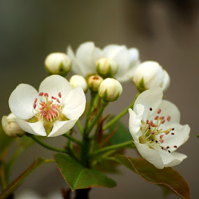 by Stephanie Ostrander Bishop - Nature Up Close Flowers - 2011-2013 ( white, trees, flowers, spring, blossoms )