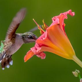 Taste Great by Mike Craig - Animals Birds ( beautiful, hummingbird, best, colorful )