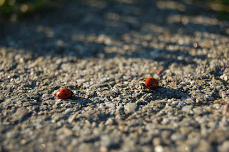 Photo: Requirements 2, 3, & 5 (midground focus, bugs, & man-made objects): I managed to capture two ladybugs in a faceoff on the asphalt sidewalk. It seems whimsical and almost fake as they pause, looking at each other. The photo is focused on the midground with blurry elements in front of and behind the ladybugs. The asphalt provides a nice contrast in color and texture. 1/320, f/5.6. Post-processing: none.