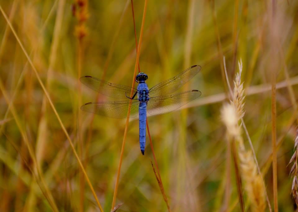 Dragonfly - Western Pondhawk (male)