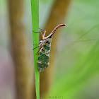 LanternFly/Lantern Bug