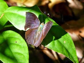 Photo: LAUREL (MORUUS) LEAFWING--anaea (memphis) moruus-EL CAPRICHO TRAIL--id by Jeff Glassberg